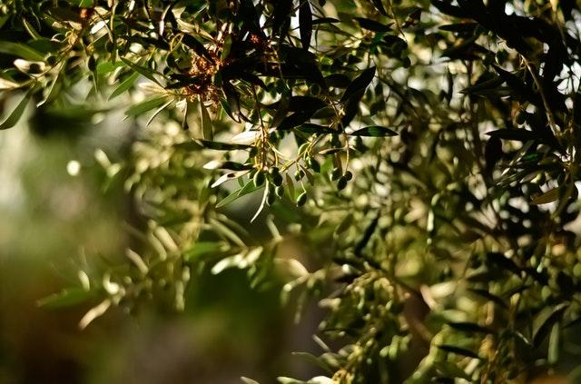 Griekse olijfolie: De beste?